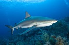 TripBucket - We want You to DREAM BIG! | Dream: Dive with Caribbean Reef Sharks