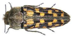 Dactylozodes