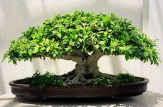 Tiger Bark Ficus Bonsai, Washington, DC | Flickr - Photo Sharing!