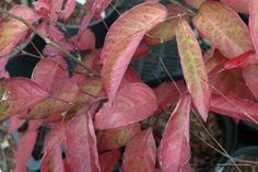 Neoshirakia japonica (was Sapium japonica) een zeldzame heester met prachtige herfstkleuren.