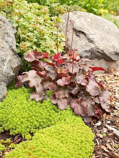 To inject drama into your rock garden, choose colors opposite each other on the color wheel. Here, the chartreuse of a sedum groundcover offers a striking contrast to the burgundy foliage of Heuchera. The contrasting hues pop against the surrounding rocks and call attention to smaller plants that might otherwise be overlooked.