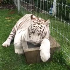 Enzo guarding his water when he was younger ❤️ #BabyEnzoBJWT #RescuedTigers #SaveTigers #NotPets #NoSonMascotas #ItsAllForLove #WhiteTiger #Love #Tiger #Beautiful #BoycottCircus #Mexico #bjwt #BJWTclassics #BlackJaguarWhiteTiger  Video by @blackjaguarwhitetiger