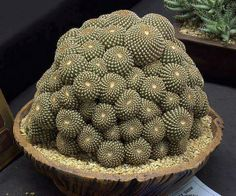Crown Cactus  Rebutia marsoneri 'Krainziana'