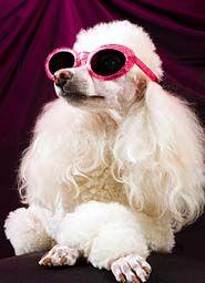 Celebrity Poodle!