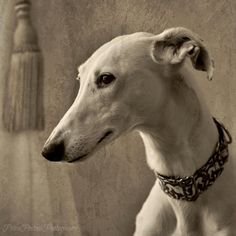 Beautiful Galga, Cara. Click link to learn more about Cara and her owner, Petra Postma, on Greytalk.