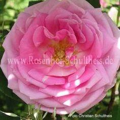 Blairii II - Zartrosa - Rosa_borbonica - Historische_Rosen - Rosen - Rosen von Schultheis