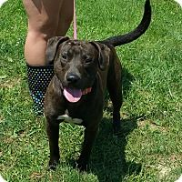 """***NEGLECTED, CHAINED, ABUSED - JUST WANTS TO SHARE HIS LIFE W/ LOVING FAMILY! 2/25/17 King- SPONSORED! - Lisbon, OH. I am already neutered, up to date with shots, and good w/ most dogs. I'm approximately 3 year old and I weigh about 60 lbs. I was surrendered by my """"owners"""" and I am now looking for a loving family. Never trained or socialized. Friendly, house trained, energetic. I need a patient, kind owner who can see my potential to be a great dog!"""