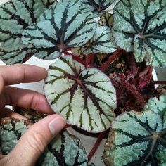 May 2015 - here's the latest begonia rex fairy leaf to open. It's nice to see how these leaves would look in an ideal environment (they eventually get brown edges) Begonia, Indoor Plants, House Plants, Succulents, That Look, Environment, Fairy, Leaves, Journal