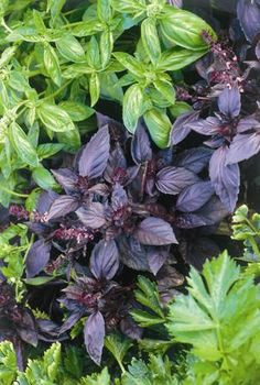 Basil improves the growth and flavor of tomatoes and repels flies and mosquitoes. Lovely purple cones top the plants if you let them go to seed. Vegetable Garden, Garden Plants, Herb Plants, Container Gardening, Gardening Tips, Purple Garden, Plantar, Growing Herbs, Edible Garden