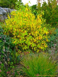 Spicebush - Lindera benzoin--I have 2 of these in my yard--started out 8 inches tall :)