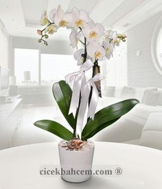 Aşk Sözcüsü Saksıda Beyaz Orkide  Seramik vazo içine 2 dal köklü beyaz orkide hazırlanması. Zerefeti ve güzelliği ile görenleri kendine hayran bırakan bu güzel orkide çiçekleri, Sevdiklerinizin için büyüleyici bir hediye olacaktır.