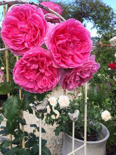 'Pink Cloud' Rose (Climbing Roses) www.filroses.com