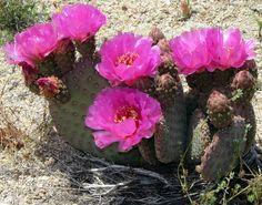 prickly pear cactus blooming season | Prickly Pear Cactus in Bloom | Blooms