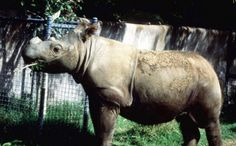 Last Sumatran Rhino in the West Headed to Indonesia to Mate