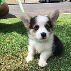 "dog-rates: ""This is Waffles. His eyes are cold but his heart is warm. Baby Corgi, Cute Corgi Puppy, Cute Little Puppies, Corgi Funny, Corgi Dog, Cute Puppies, Cute Dogs, Cardigan Welsh Corgi Puppies, Pembroke Welsh Corgi"