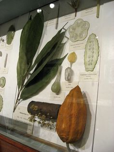 Cacao at Harvard Museum, (c) Adam Blanchette | Flickr | hand-made 19th c. glass model of Cacao on display in the Glass Flowers gallery at the Harvard Museum of Natural History
