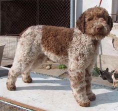Lagotto Romagnolo - water retrieving breed, famous in Italy for its ability to locate truffles..well of course u can..what a q t