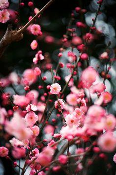 紅梅 Red plum blossoms....reminds me of back home.... Love cherry blossoms!