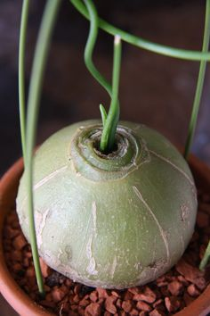 Bowiea volubilis i. Weird Plants, Unusual Plants, Rare Plants, Exotic Plants, Cool Plants, Exotic Flowers, Tropical Plants, Succulents In Containers, Cacti And Succulents