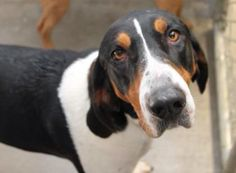 Coonhound mix F 3 years named Haley in Bowling Green, KY @ Bowling Green-Warren County Humane