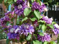 Clematis Diamantina, Large Flowered Clematis - Brushwood Nursery, Clematis Specialists