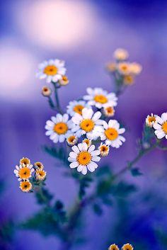 ~~daisies by Amanda Roberts~~