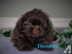 RARE CHERRY CHOCOLATE AKC MALE SHIH TZU PUP for Sale in Freeland, Pennsylvania Classified | AmericanListed.com