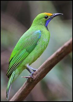 The Golden-fronted Leafbird (Chloropsis aurifrons) is a species of leafbird. It is a common resident breeder in India, Sri Lanka, and parts of Southeast Asia. by hiker1974, via Flickr