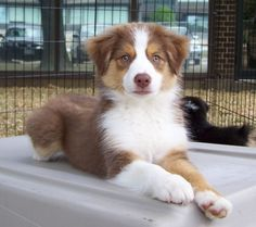 red tri australian shepherd pup I will have one! Or three - this one is good enough to paint for me :) . Red Tri Australian Shepherd, Australian Shepherd Puppies, Aussie Puppies, Aussie Shepherd, Corgi Puppies, Husky Puppy, Pomeranian Puppy, Cute Baby Dogs, Cute Dogs And Puppies