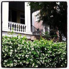 confederate jasmine --- smells heavenly