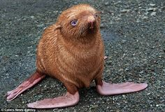 seal pup with extremely rare ginger fur and blue eyes on tyuleniy island, russia. nearly blind and outcast from the rest of the colony :'( no love for the gingers...