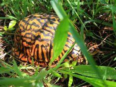 eastern box turtle – Conserve Wildlife Foundation of New Jersey Box Turtles, Cute Turtles, Eastern Box Turtle, Tortoises, Bats, Eye Color, Conservation, Female