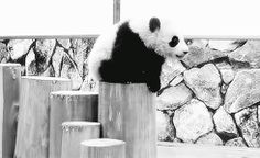 No balance either. Whatsoever. | 24 Reasons A Panda Should Never Be Your BFF