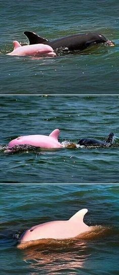 Roze dolfijn