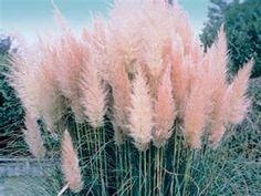 Pink white Pampas grass seed, Cortaderia Sellona, ​​fast growing ornamental grass seed, Pampas grass seed, perennial flower seeds - All For Garden Flowers Perennials, Planting Flowers, Perennial Grasses, Grass Seed, Ornamental Grasses, Plantation, Flower Seeds, Garden Landscaping, Luxury Landscaping