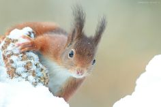 Red Squirrel on a snowy perch. 7D Sigma 300mm f2.8 + 1.4tc thanks you for watching facebook page https://www.facebook.com/pages/Olivier-Colle-fotografie/294490477389160?hc_location=timeline