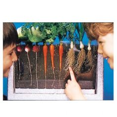 Root-Vue Farm - Watch plants grow below the ground with this garden laboratory that includes a waterproof, growing box with sturdy acrylic, viewing window, 3 packets of fast growing seeds (carrot, radish Fast Growing Plants, Growing Seeds, Science Activities For Kids, Science Fair Projects, Traditional Thanksgiving Sides, Experiment, Farm Unit, Grow Boxes, Farm Theme