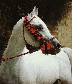 Horse Pedigree Database | Maboubah | Arabian, Egyptian | Association of Breeders of the Arabian Horse (VZAP)