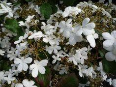 Viburnum plicatum Watanabe /Japanse sneeuwbal. Breed uitgroeiend ( 0,8-1,5m) en niet zo snel groeiende struik (1-2 m).   Goed winterhard en bladverliezend. Favoriet vanwege mooie horizontale takkengroei en de zeer langdurige bloei (mei-okt). Na de bloei komen er bessen aan de heester.  Standplaats: zon of halfschaduw in principe in iedere grondsoort, voorkeur voor humusrijke, vochthoudende en kalkrijke grond.  Snoei: Niet. Beschadigde en dode takken kunnen er echter wel uitgeknipt worden.