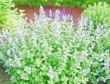 Catnip is a feline favorite herb that drives them crazy. We ship top quality catnip plants to your doorstep. Plants That Repel Bugs, Cool Plants, Herb Plants, Garden Compost, Vegetable Garden, Herbs Garden, Growing Flowers, Planting Flowers, Catnip Plant