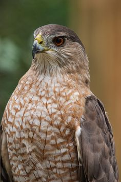 Cooper's Hawk by secondclaw on DeviantArt