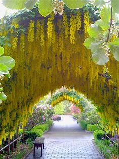 The Laburnum arch, Whidbey Island,Washington, USA (via Sam Hahn).