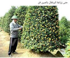 Çin'de Portokal ağacı