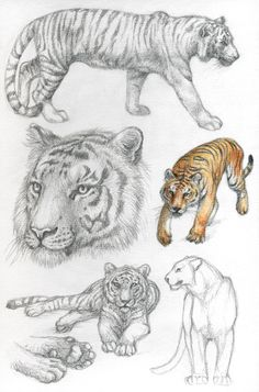 Bengal tiger by Dragarta Pencil Drawings Of Animals, Animal Sketches, My Drawings, Tiger Sketch, Tiger Drawing, Illustration Sketches, Art Sketches, Tiger Artwork, Anatomy Sketches