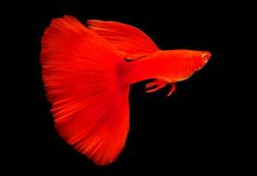 Real Red Eyed Albino Guppy