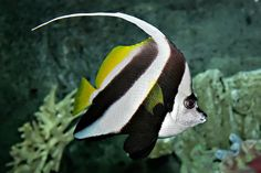 Pennant coralfish melb aquarium edit2.jpg