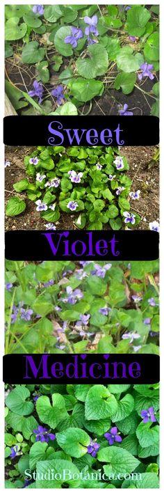 Sweet Violet Medicine ~ highlights for healing you! DIY recipes + ideas. Violets are hope and joy. Violet Tea, Violet Vinegar, Violet infused Oil