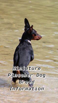 Ultimate Miniature Pinscher Breed Information - Train Your Own Dogs Miniature Doberman Pinscher, Mini Doberman, Black Doberman, Mini Pinscher, Min Pin Dogs, Doberman Shepherd, Min Pins, Lap Dogs, Dog Eating