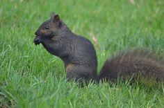 Black squirrel Black Squirrel, Kangaroo, Rabbit, Wildlife, Photos, Animals, Baby Bjorn, Bunny, Rabbits