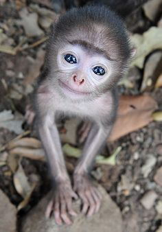 Ready for my close-up: The adorable baby grey langur monkey showed he was not camera shy when pictured near his Indian home cutest baby animals Is this the world's cutest baby monkey? Tiny grey langur shows his beautiful blue eyes during stunning close-up Cute Baby Monkey, Pet Monkey, Cute Little Animals, Cute Funny Animals, Funniest Animals, Tiny Baby Animals, Nature Animals, Animals And Pets, Wild Animals
